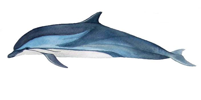 Blau weißer delfin stenella coeruleoalba